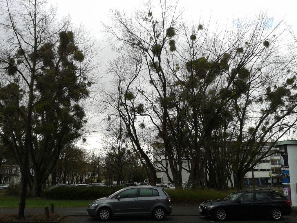 Bäume mit Mistelbefall